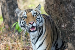 Young female tiger enjoys the protection of trees in her forest home