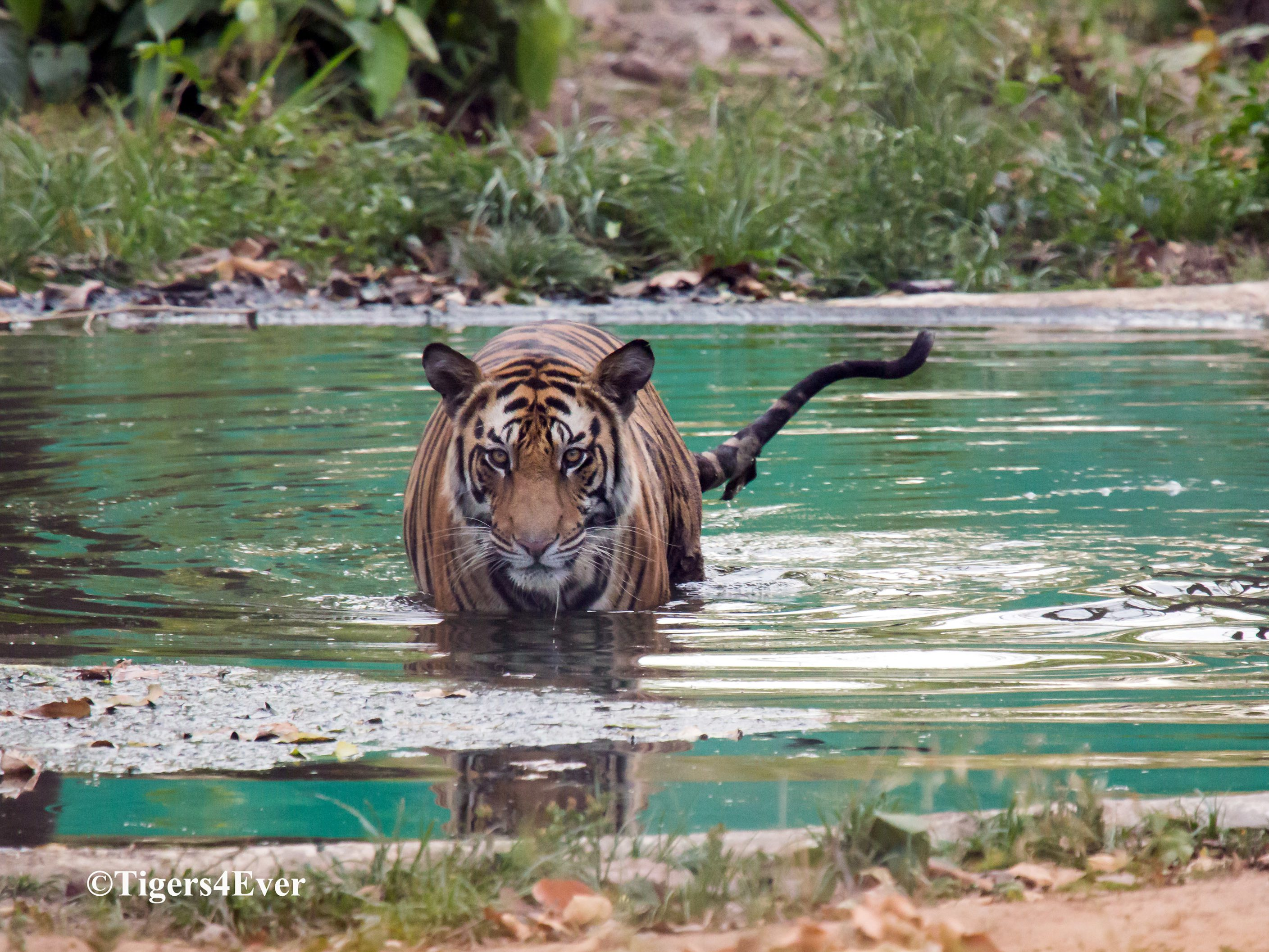 Orphaned Tiger Cub in Tigers4Ever waterhole which helped to save her life