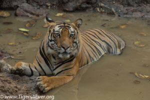 Alpha male Wild Tiger in Waterhole