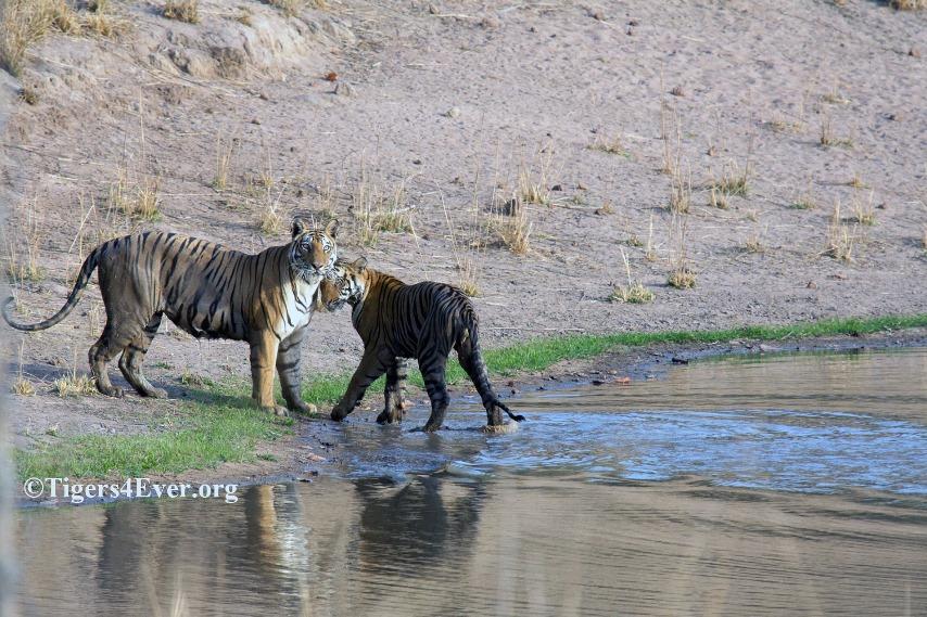 Tigress and cub in Tigers4Ever Waterhole