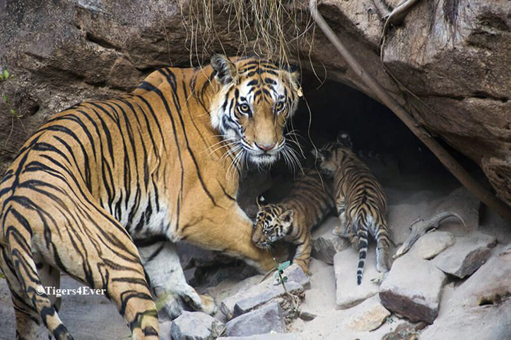 A Royal Bengal Tigress protects her tiny cubs in their den, in Bandhavgarh, India