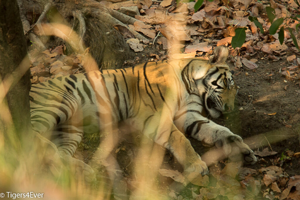 A young male Royal Bengal Tiger has found somewhere cool and shaded, he is asleep at the foot of a tree