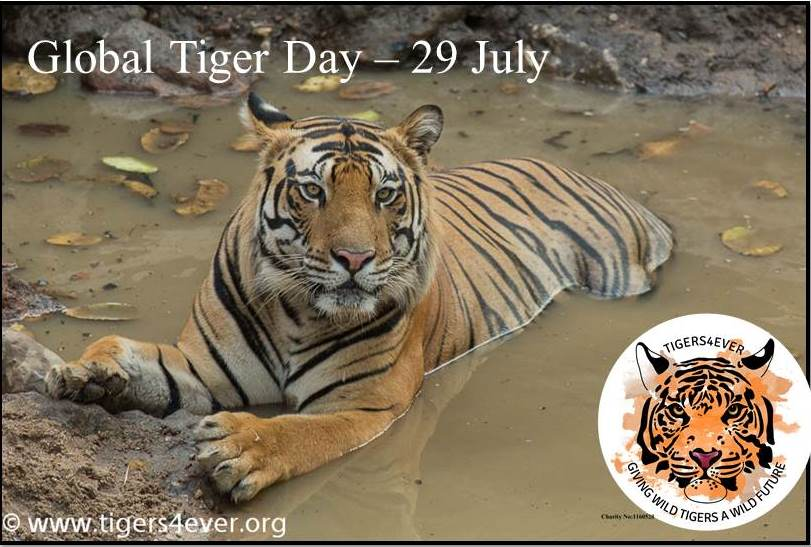 Tiger in a waterhole symbolising the importance of Global Tiger Day - 29 July