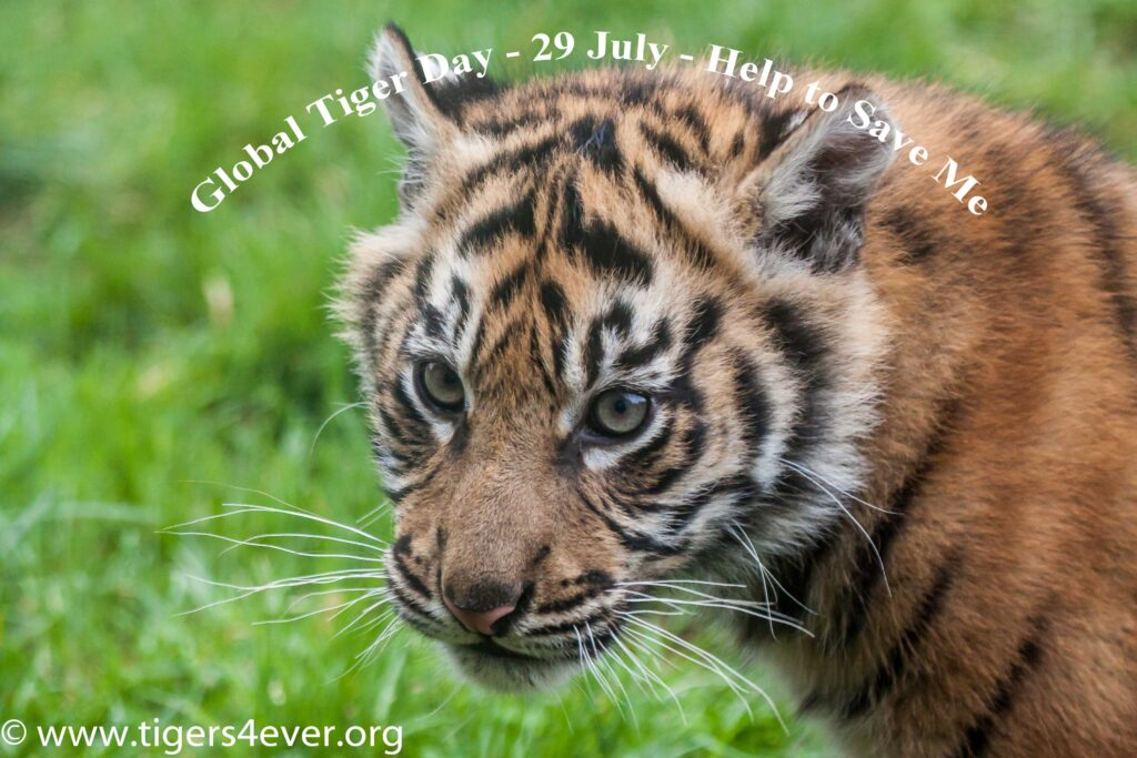 Small tiger cub looks on in an appeal for help on Global Tiger Day