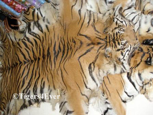 Wild tiger skins confiscated from poaching gangs