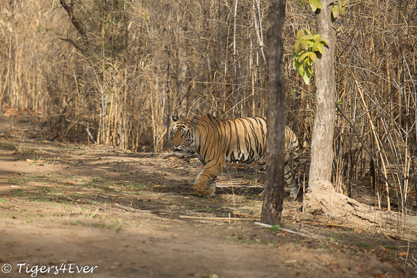 Male Royal Bengal Tiger emerges from the cover of the bamboo