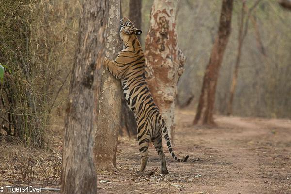Adult Royal Bengal Tigress Scent Marking a Tree in Bandhavgarh National Park