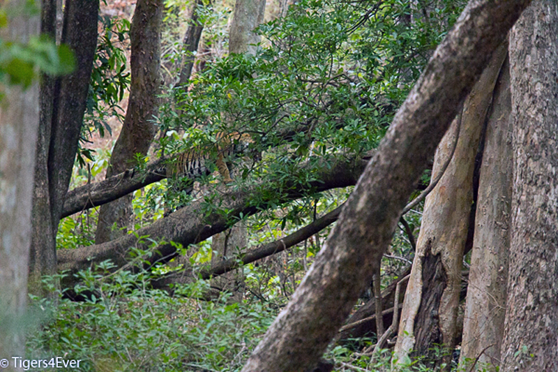 Young tiger climbing a tree in Bandhavgarh national Park, India
