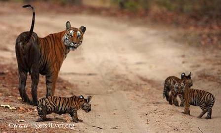Tigress in Bandhavgarh National Park, India with 3 tiny tiger cubs
