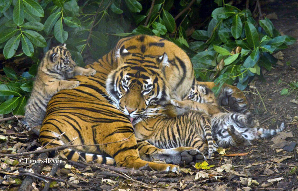 Tigress lies curled up and sleeping with 3 Tiny Cubs