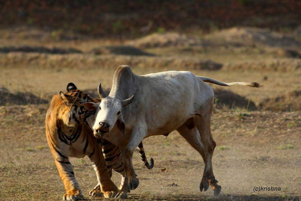 A wild Royal Bengal Tiger takes down a domestic cow a common cause of Human-Wildlife Conflict