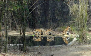 Three 4 month old wild tiger cubs drinking at a Tigers4Ever waterhole in Bandhavgarh National Park