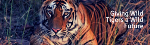 Wild Tiger in India with caption Giving wild tigers a wild future