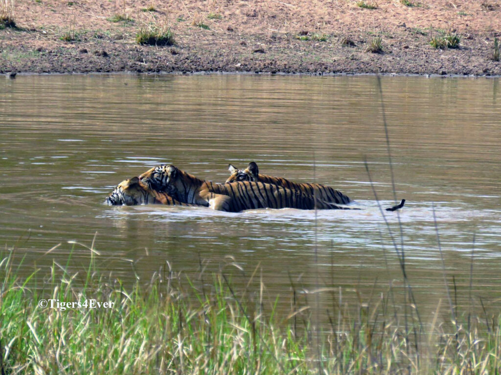 A wild tigress and her cubs enjoy the cooling effects of a Tigers4Ever waterhole in Bandhavgarh National Park