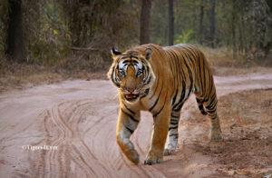 Alpha Male Royal Bengal Tiger in Bandhavgarh National Park, India