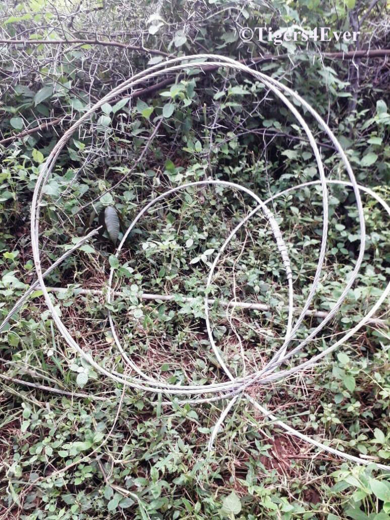 Snare wires like these are similar to the one used to kill the Banvai Tigress